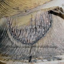 Draceana I, 20-20cm